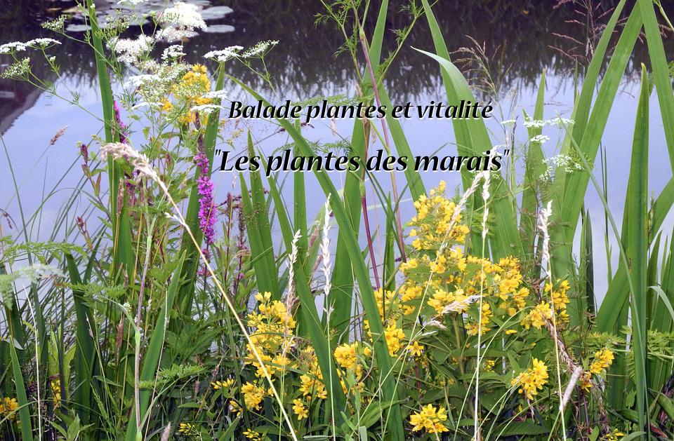 Balade plantes et vitalité : les plantes des marais