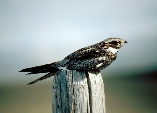 A la recherche de l'oiseau mobylette @ CPIE Val de Vilaine