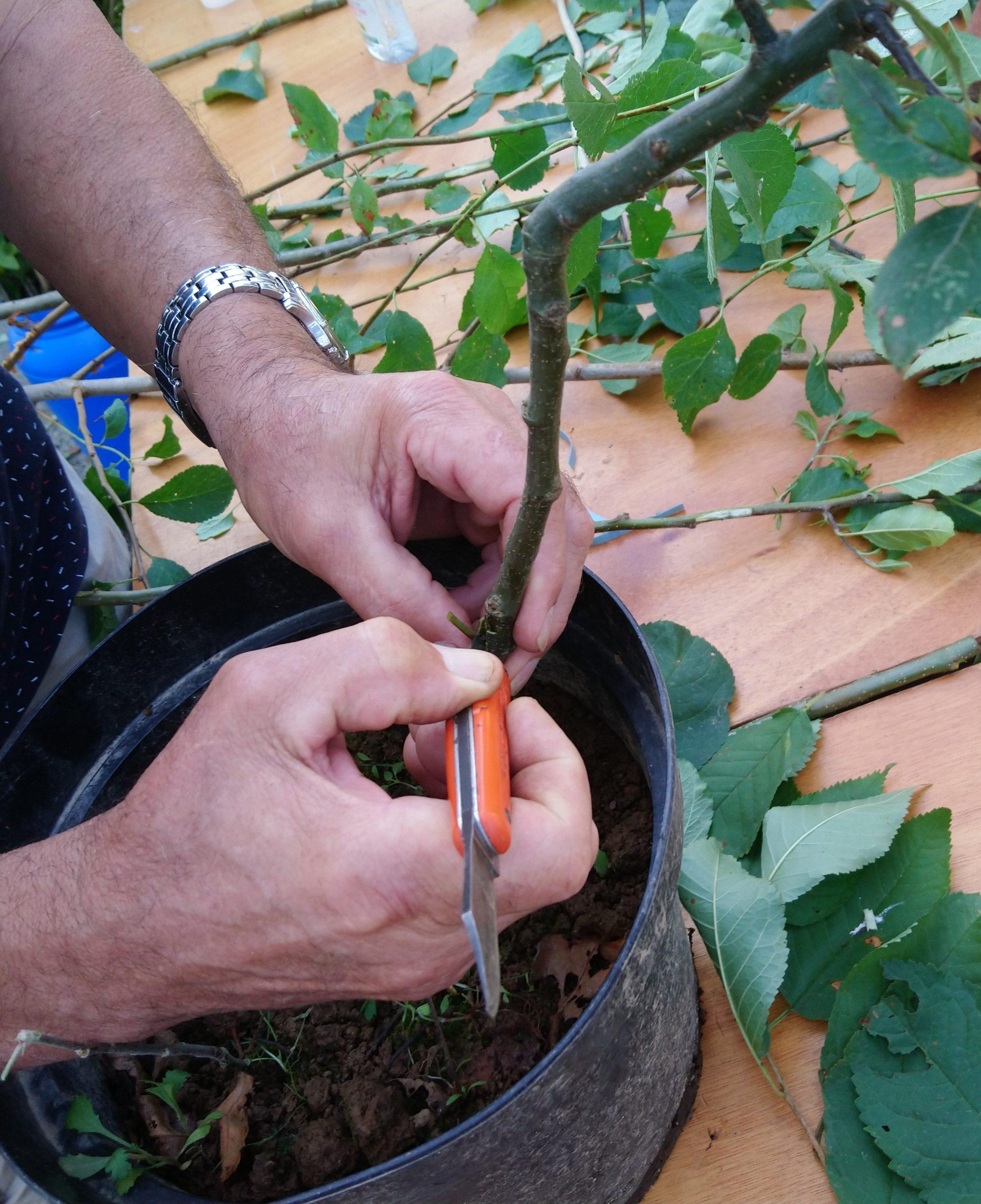 Atelier écussonnage sur fruitiers et rosiers